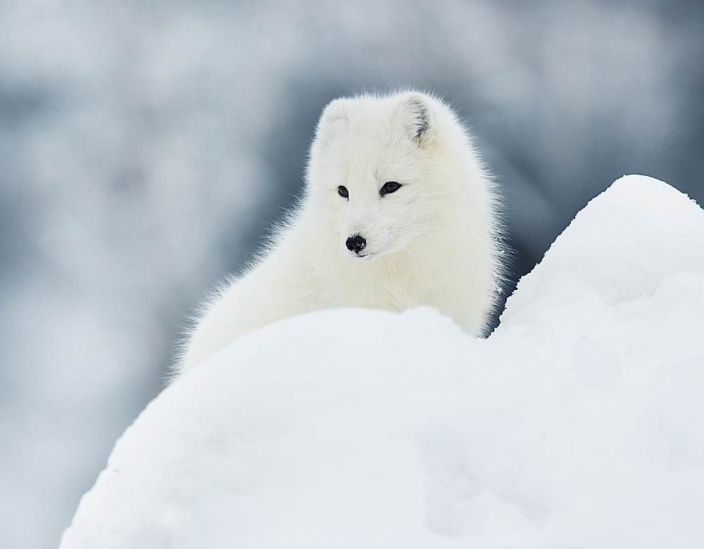 Save the artic fox 001