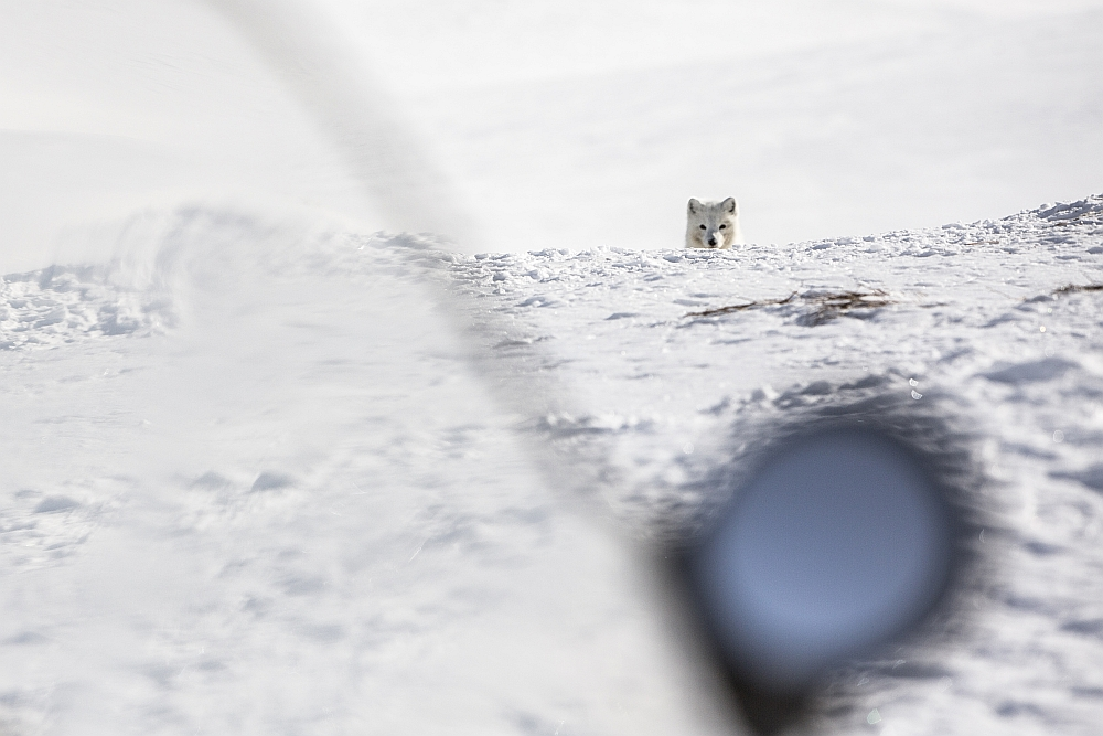 Save the artic fox 006