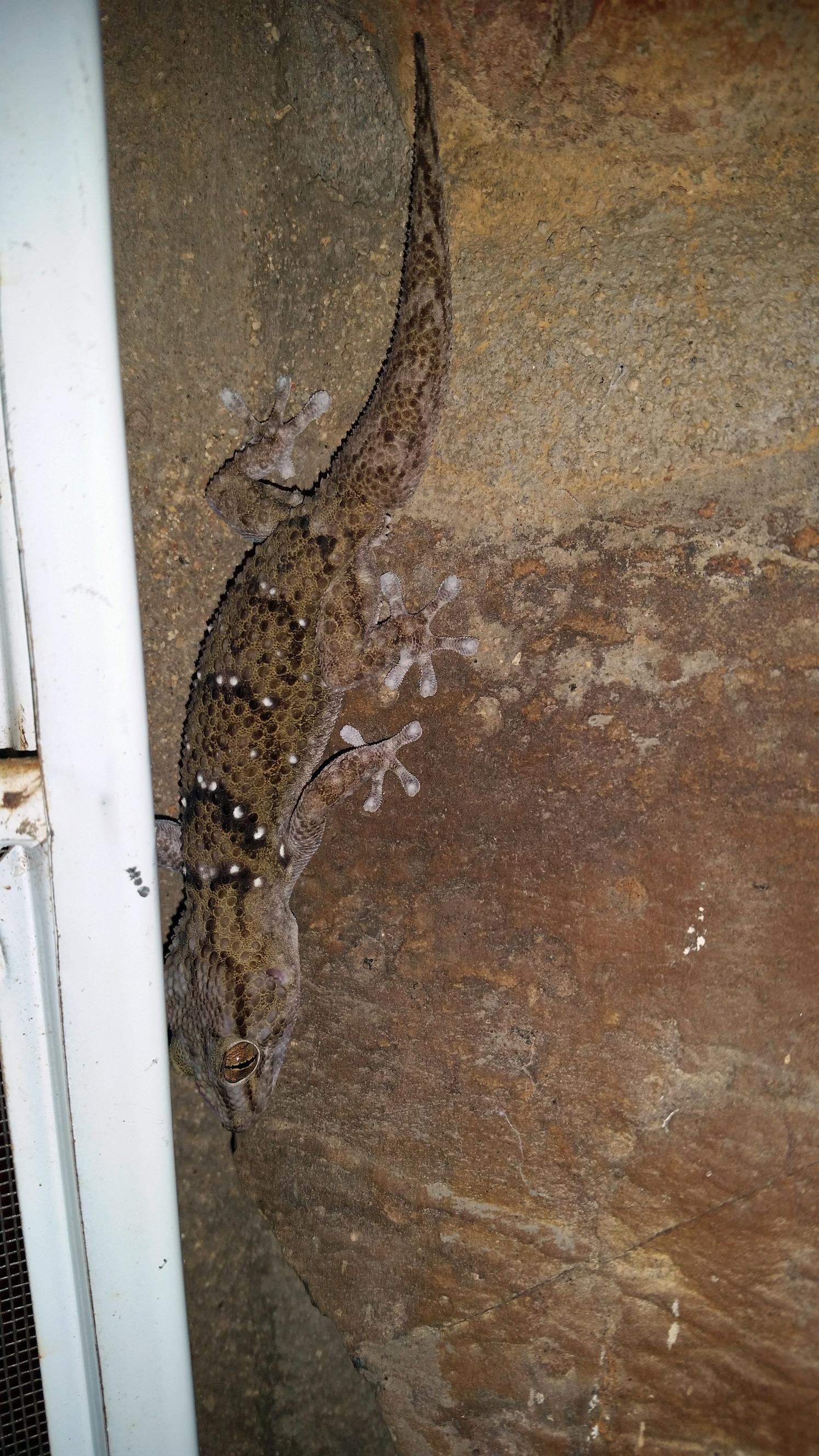 Erongo_Gecko_web