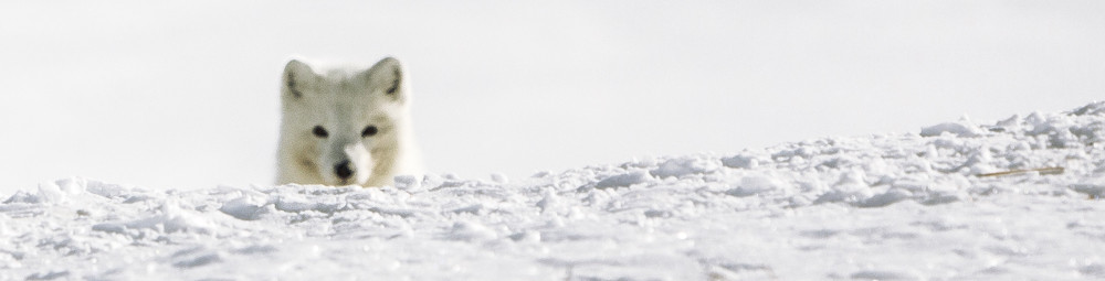 header_blog_arctic_fox